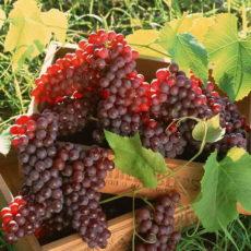 Сады и виноградники будут учитываться как основные средства
